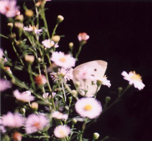 asters and butterfly